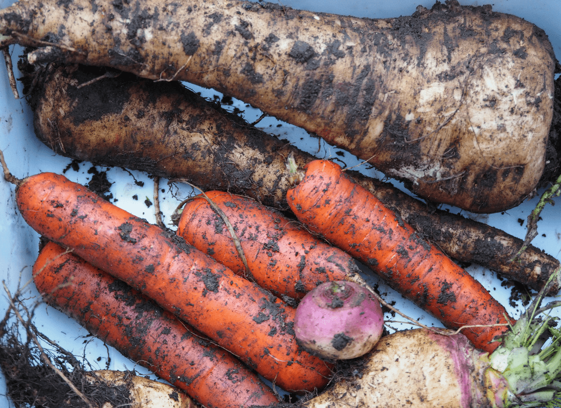 root vegetable from the garden in January