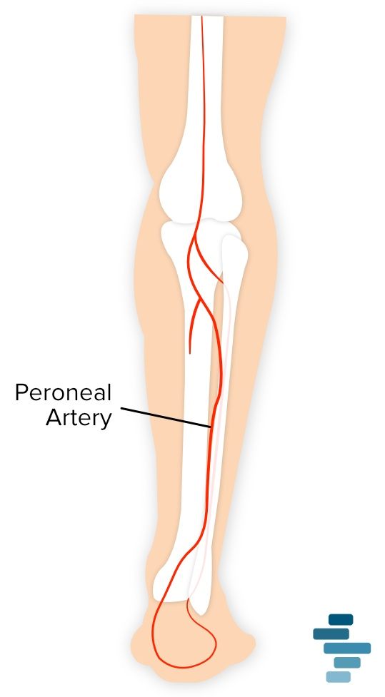illustration of peroneal artery