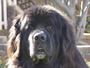 This is Owen the Newfoundland. Darling of Clan Drooling.