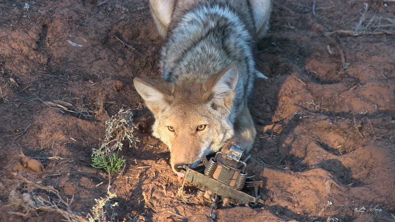 Coyote Lures and Baits