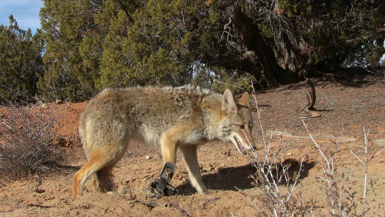 Coyote Lures