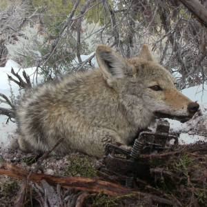 Coyote Baits