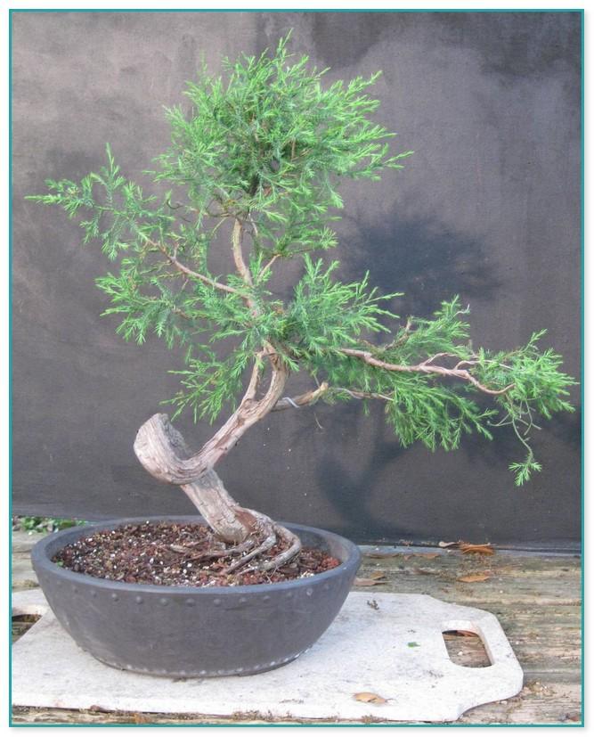 Ginseng Ficus Bonsai Care 2