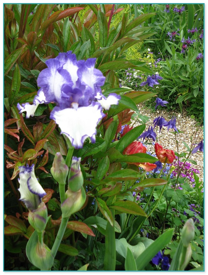 Purple Flowered Climbing Plant Crossword Clue  Garden