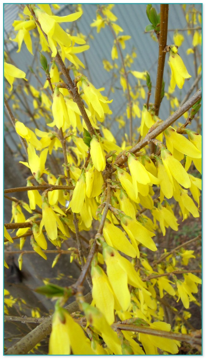 Yellow flowered plant crossword choice image flower decoration ideas plant with yellow flowers crossword gallery flower decoration ideas purple flowered climbing plant crossword the most mightylinksfo