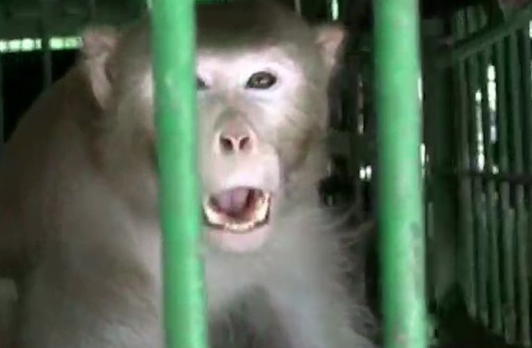 Monkeys Shows Short-Term Immunity After Been Infected