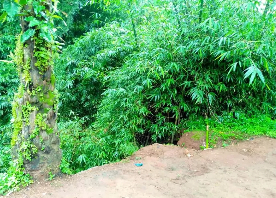 Bamboo trees planted in gullies to check erosion expansion at Okpuno Nsude