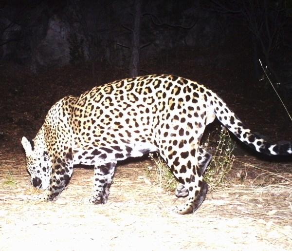 Trail Camera Captures Of Jaguar In Arizona