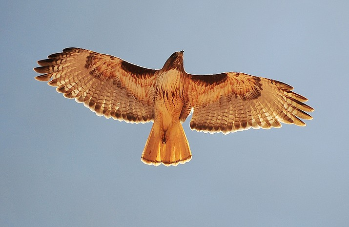 red tailed hawk flying