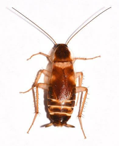 How Many Baby Roaches Are In A Egg : roaches, Cockroach, Pictures:, Photo, Gallery, Images