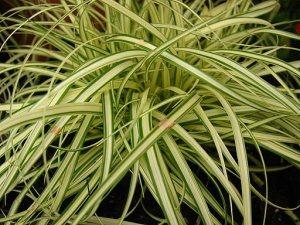 Carex evergold, evergreen grass, ideal for hanging baskets and tubs. Western Plant Nursery Sligo