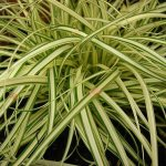 Carex evergold, evergreen grass, ideal for hanging baskets and tubs. Western Plant Nursery Sligo