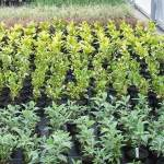 Young plants freshly potted on in the nursery Western Plant Nursery WPN Sligo Aucuba Griselinia Buddlejia
