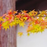 Japanese Maple Red Fall Autumn Foliage Beautiful Western Plant Nursery