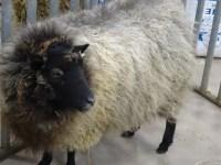 sheep-to-shawl  Western Sakiori