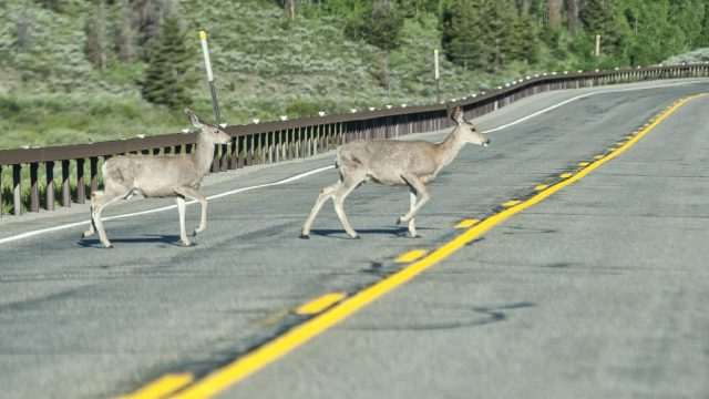Two deer crossing guard rail and road on Hwy 191 approaching Jackson Hole, WY.