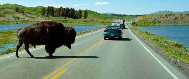 Bison crossing road between vehicles in Yellowstone National Park