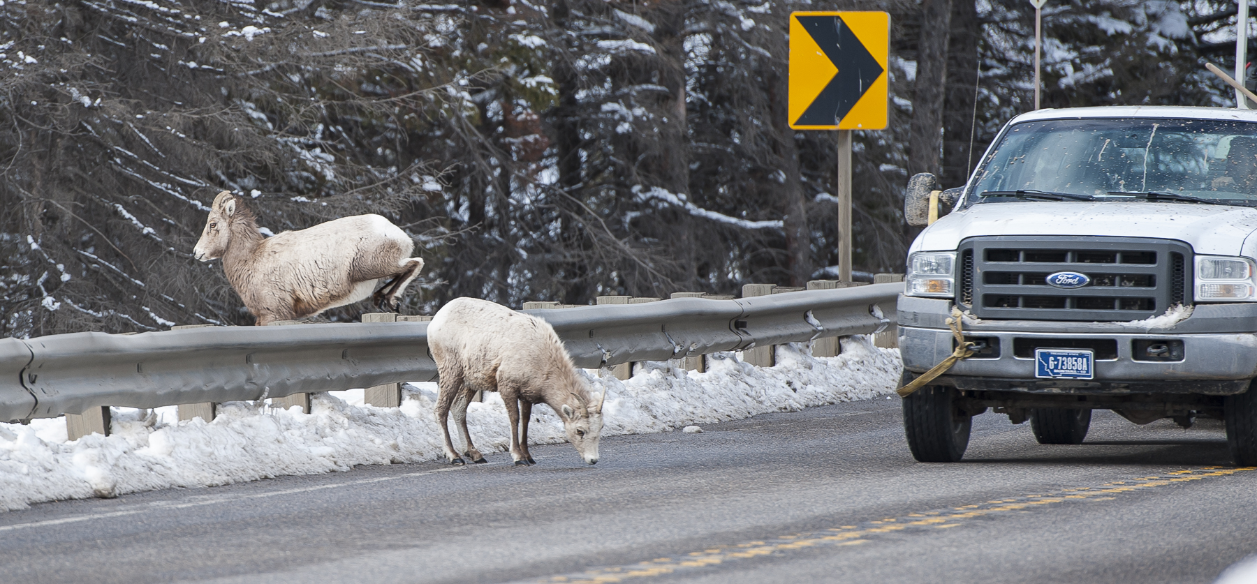 Vehicle approaches two Big Horn sheep on Hwy 191. One is licking salt from the road surface, the other is jumping over a guardrail away from the road. There is a road curve warning sign in the backgorund.