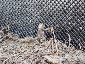A Yosemite toad looks through mesh fencing alongside a road used to mitigate negative road impacts and guide amphibians towards safe passages.