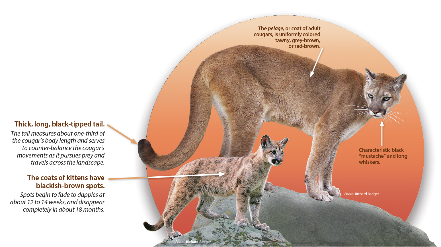 hight resolution of diagram of cougars wiring diagram detailed diagram of black cougar animal diagram schema wiring diagrams lion