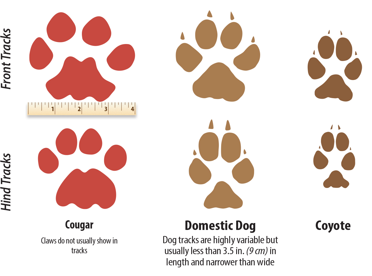 hight resolution of the tracks of a cougar dog and coyote compared