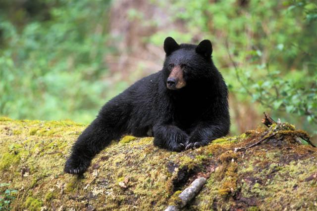 black bear western wildlife