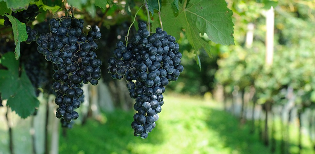 Wine Grapes from Mudgee Vineyard