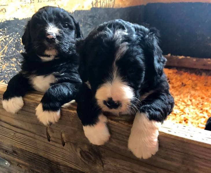 AussieDoodles and BerneDoodles for Sale in Tennessee