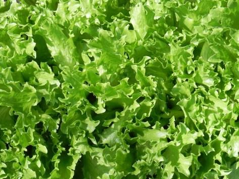 Lettuce, TZ 7192 082411 (2)