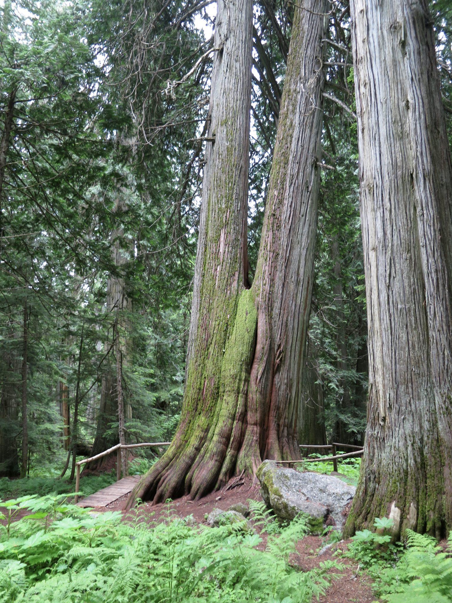 Kokanee Old Growth Cedars