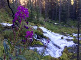 Fireweed at the Big Springs source