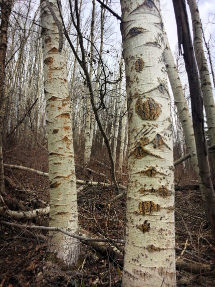Aspen Trees Covered in Bear Marks