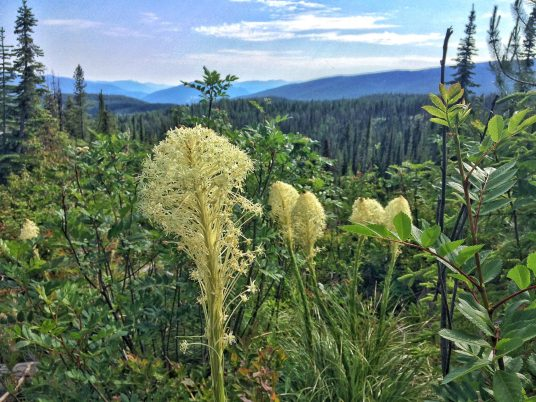 Beargrass flowering along the trail