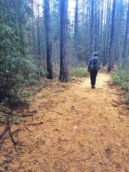 Trail is golden with larch needles