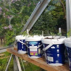 allotment yoghurt pots