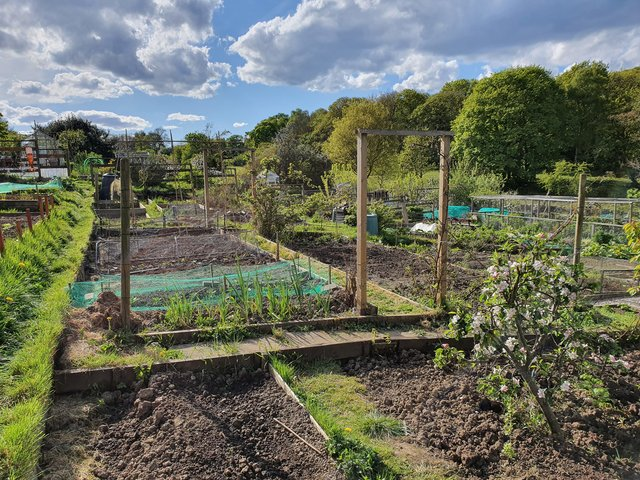 Anne's Patch: Strange times for allotmenteering