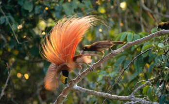 Things to Know about Cendrawasih, the Bird of Paradise in Papua