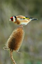 goldfinch_bird_teasel_nature_wildlife_6676T