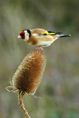 goldfinch_bird_teasel_nature_wildlife_6676T