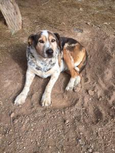 Noah, one happy dog that was loved at West Star Ranch!