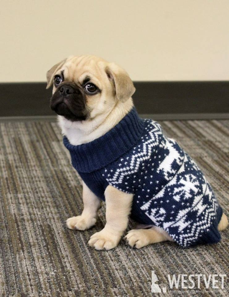 Sweater For Pug : sweater, Sweater, WestVet, Veterinarian, Hospital, Services