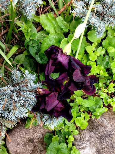 beautiful dark iris