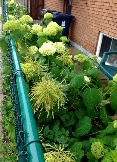 amazing hydrangea and something else, spotted en route
