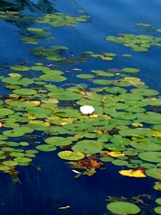 ... so many waterlilies!