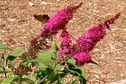 butterfly on butterfly-bush