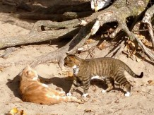 Two island cats meet and avoid fighting