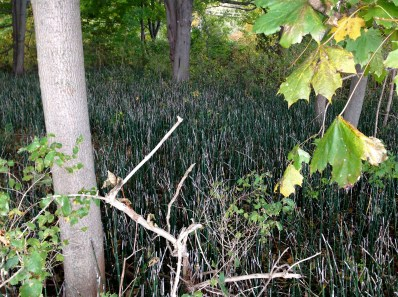 A forest floor of snake grass (not on Snake Island!)