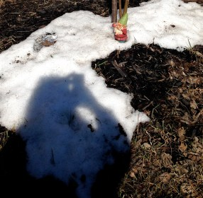 Roaming see-no-evil gnome in the remains of snow