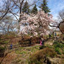 Hillside garden's gigantic blooming magnolia