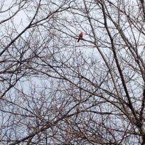 Bright cardinal by Grenadier Pond